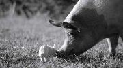 «Гунда»: Я/Мы свинья!